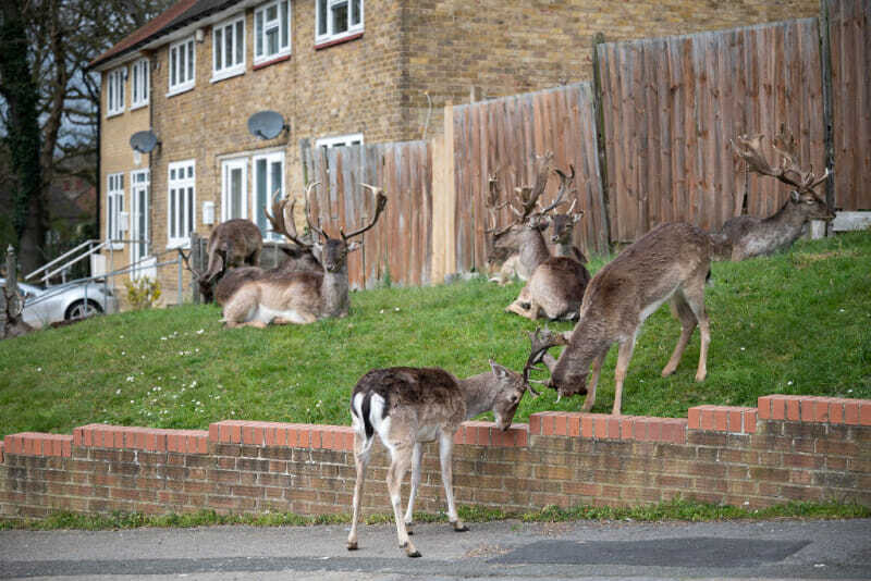 Ciervos en las calles